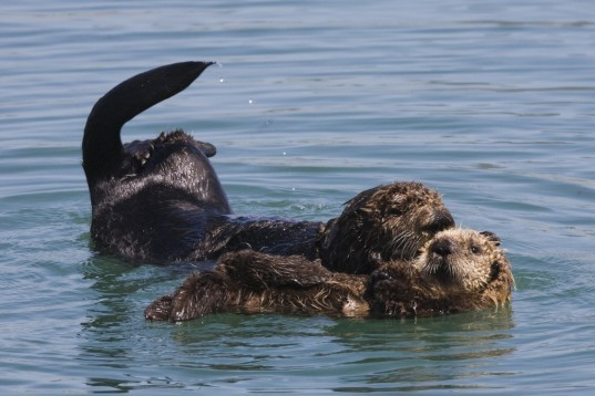 sea otters, university of california santa cruz, co2, co2 atmosphere, Frontiers in Ecology and the Environment , seagrass, Chris Wilmers, James Estes, co2 storage, conservation