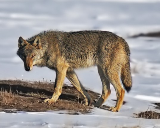 us fish and wildlife service, gray wolf, endangered species act, esa, wyoming, protected species, wolf protection,
