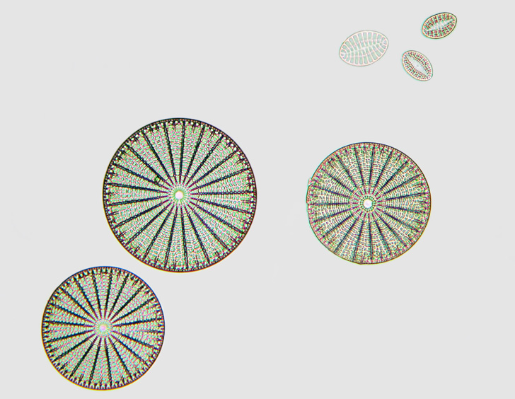 Ancient Marine Diatoms Could be Used to Make Biofuels, Electronics