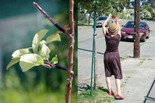 Guerrilla Grafters, spontaneous interventions, fruit grafting, fruit trees, san francisco