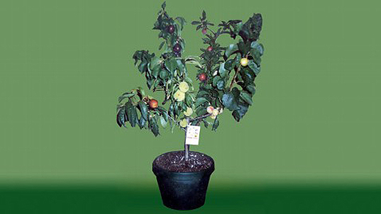 Fruit Salad Trees Bear 6 Different Kinds of Fruit on One Plant!