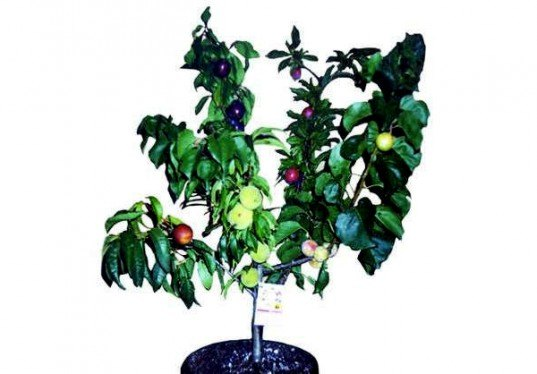 Fruit Salad Trees Bear 6 Different Kinds Of Fruit On One Plant