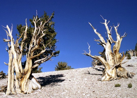 Bristlecone pine tree, ancient trees, endangered species, National Parks,