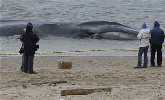 Beached Whale NYC, Breezy Point, Breezy Point Beached Whale, Breezy Point Queens, Finback, Finback Whale, New York News