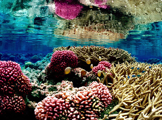 Coral Reefs Extinction, Reefs Dying, Carnegie Institute for Science, Global Warming Impacts, Ocean Acidification, Carbon Emissions Impact, pollution killing sealife, coral reef threatened