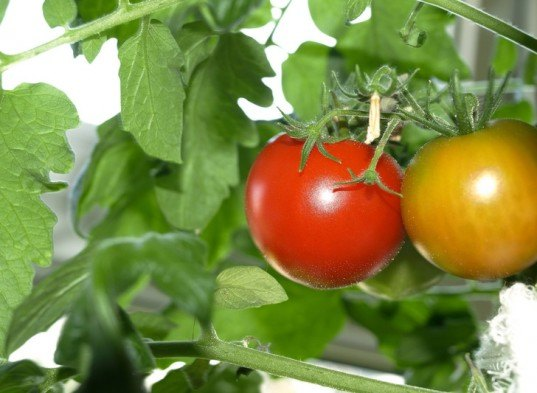 indoor tomatoes, tomatoes, winter tomatoes, tomatoes indoors in winter, winter food gardening