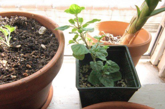 growing kale indoors, kale, oregano, growing oregano, winter kale garden, indoor farming