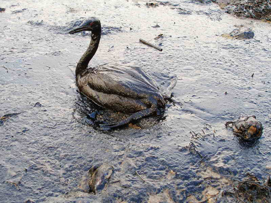 Gulf of Mexico oil spill, oil spill clean-up, deepwater horizon disaster, ecological disasters, marine life protection, BP oil company, marine ecosystems,  underwater petroleum leak, oil-dispersing chemicals