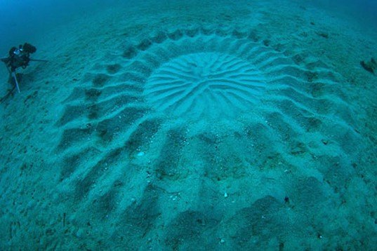 Yoji Ookata, Mystery Circle, puffer fish, crop circle, underwater design, Art, Animals, Water Issues, japan, deep-sea photography