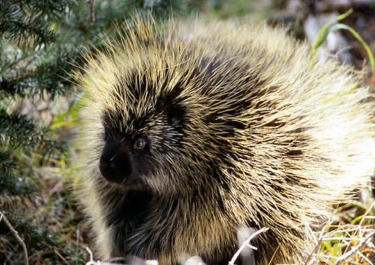 north american porcupine, quills, barbs, spines, mit, needles, brigham and women's hospital, adhesives