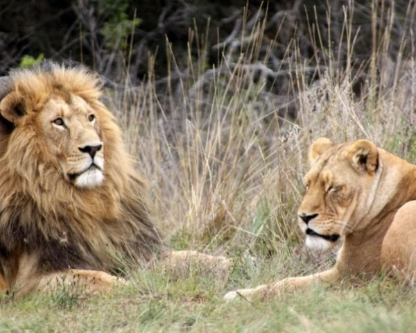 sport hunting, lions, leopards, zambia, botswana, kenya, poaching, african conservation, africa, david attenborough, endangered wild cats, wild cats, hunting ban,