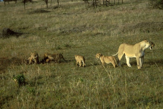 african lion, endangered, extinction, conservation, lionaid, report, female with cubs