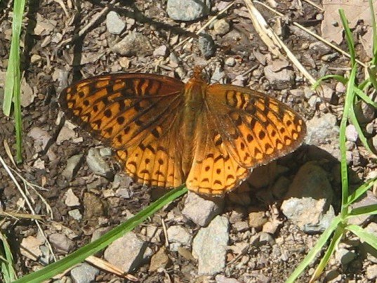 aphrodite fritillary, butterfly, climate change, nature climate change, movement, species, north