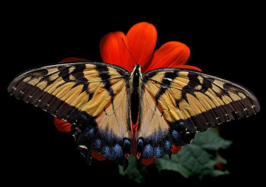 eastern tiger swallowtail, butterfly, climate change, nature climate change, report, movement