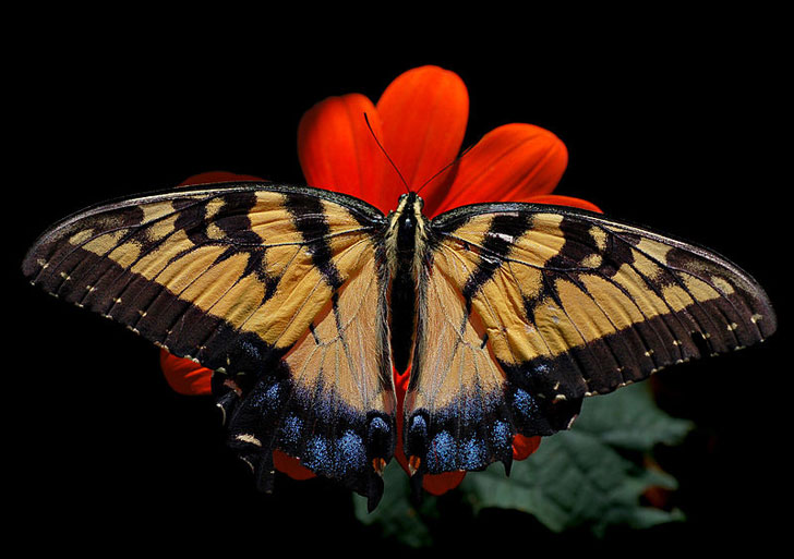 southern species of us butterflies are moving north as climate