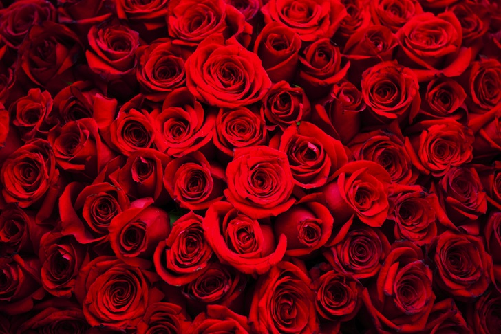 100 Million Roses Grown For Valentine S Day Produce 9 000 Metric