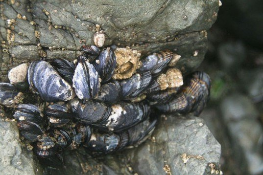 california mussels, pollution, acidification, curstacean, ph, metals, toxins, water, ocean, marine