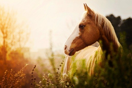 bute, horsemeat scandal, phenylbutazone, FSA, environment ministry, horses eaten for meat, contaminated horse meat, UK, England, food, health, food chain