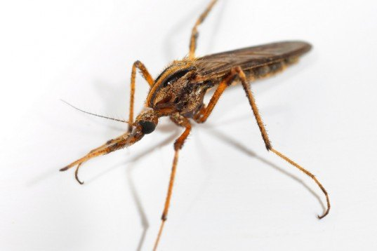 Gallinipper mosquitoes, Gallinippers Florida, mosquito invasion Florida, mosquito bite, mosquito spraying Florida, gallinippers Alachua County, Florida rainfall, global warming mosquitoes, rising sea, Tropical Storm Debby, Florida flooding