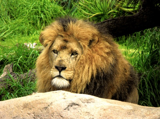 lion meat, endangered species, IUCN, U.S. FWS, Born Free USA, exotic meat, Illinois, ban lion meat, Rep Luis Arroyo, news, animals, environment, lions