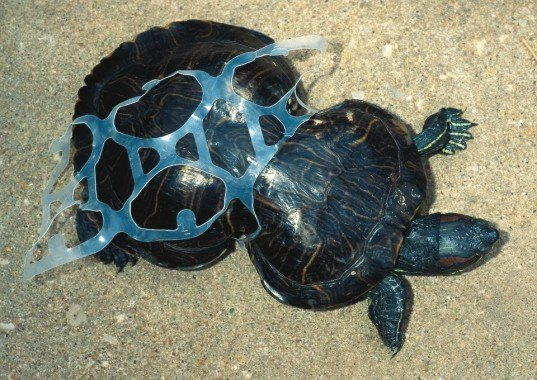 Peanut, deformed turtle, Missouri Department of Conservation, Six-Pack Ring, Missouri, Animals, garbage
