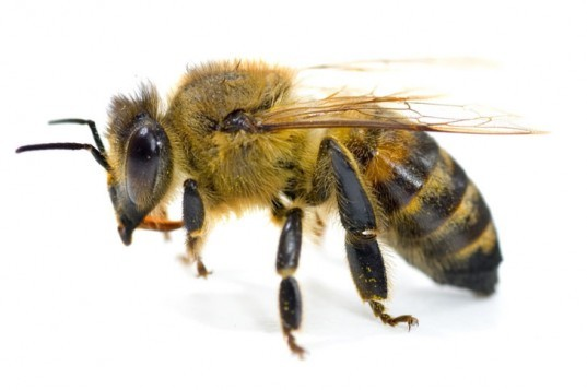Bee, honeybee, yellow jacket, bee sting, bee venom, bee pollen