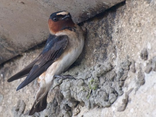cliff swallow, wingspan, adaptation, car, traffic, charles brown, nebraska, university of tulsa, nest, builder