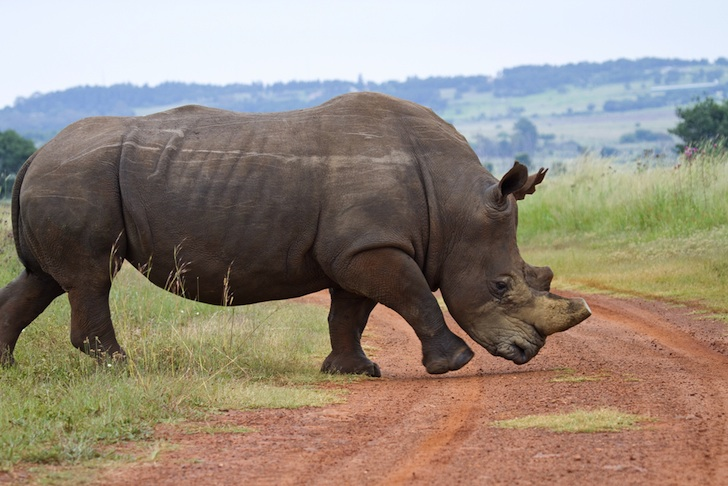 horn trade legalization Activist groups warned that any legalized trade would open the door to  for  rhino horn in south africa, lifting the domestic trade ban could very.