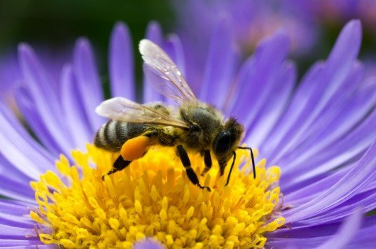 bees, colony collapse disorder, US, EPA, Environmental Protection Agency, Sierra Club, Bayer, Syngenta, Neonicotinoid, bees, pesticides, agriculture, environment, news, pollinators,