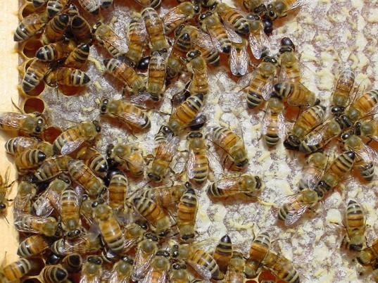 honeybee, flying, flower, nectar, pollinate, caffeine, attract, chemical, hive