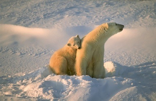 polar bear, CITES, Thailand, COP16, endangered species, wildlife trade, US, Canada, inuit, news, wildlife, global warming, climate change, IFAW, NRDC, WWF