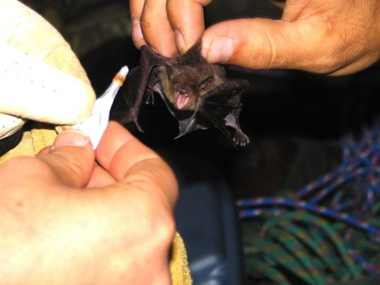 bats, WNS, white-nose syndrome, white fungus, Fern Cave, US Fish and Wildlife Service, Center for Biological Diversity, wildlife, animals, news, environment, worst wildlife disease outbreak, North America, IUCN, endangered gray bats, devastating loss to bats, agriculture