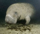 Toxic Algae Bloom Kills 241 Manatees in Florida