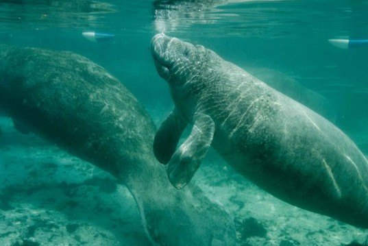 manatee, florida, red tide, death, algal bloom, toxin, endangered species