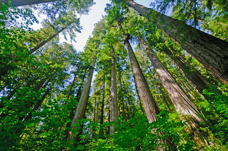 The Archangel Tree Project Plants its First Cloned Redwoods in