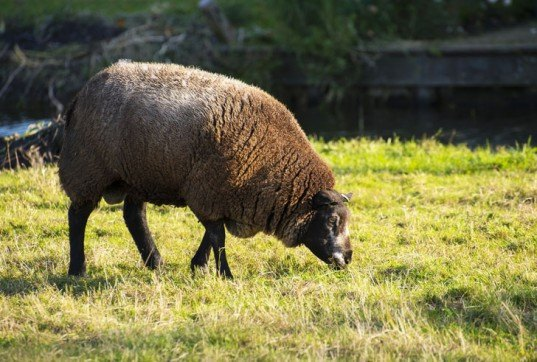 Black Sheep, sheep grazing, ewes, black sheep grazing, sheep