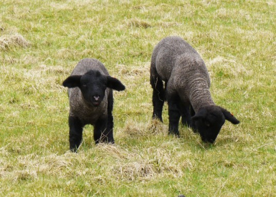 Black Sheep, sheep grazing, lambs, black sheep grazing, sheep
