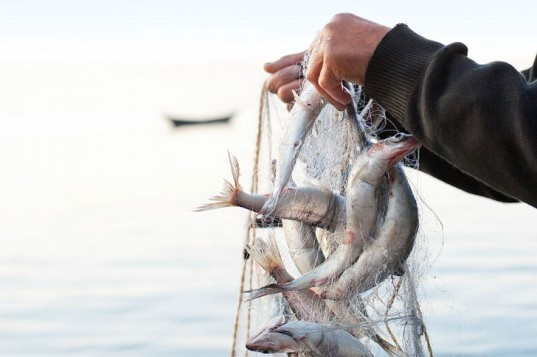 Fish, fishing, fish in net, fisherman's hands, Chinese fisherman