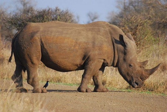 african rhinoceros, mozambique, poacher, horn, great limpopo transfrontier park