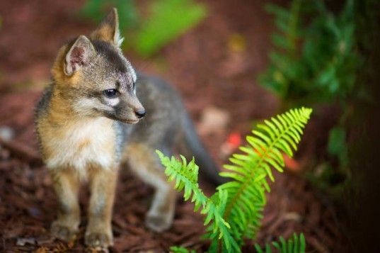 FB Fox, Facebook Fox, foxes, baby foxes, fox family, facebook, firefox, animals, cuteness overload