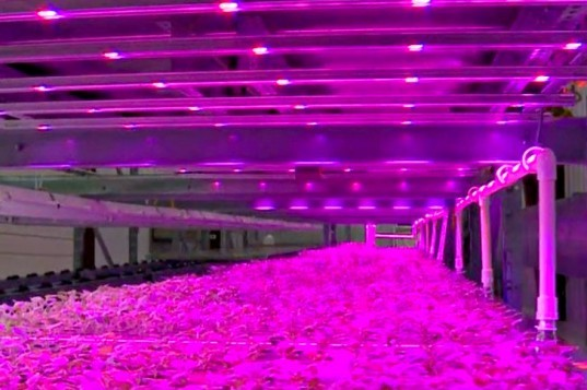 Vertical Pinkhouse, Caliber Biotherapeutics, pinkhouse, pink light, led light, indoor farm, vertical farm