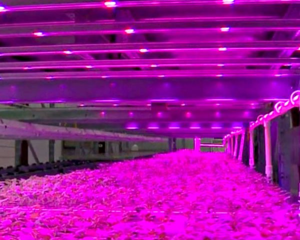 indoor vertical farm pinkhouses grow plants faster with less energy inhabitat green design innovation architecture green building