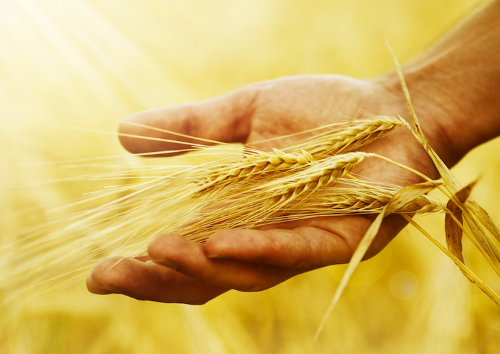 Monsanto's Genetically Modified Wheat is Out of Control