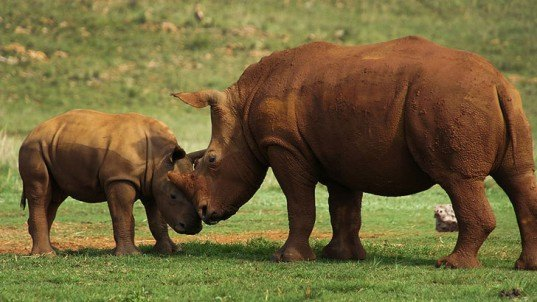 african rhinoceros, mozambique, poacher, horn, great limpopo transfrontier park, young