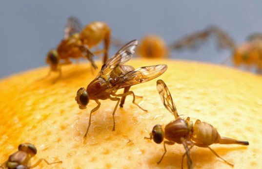 fruit flies, organic produce, ria chhabra, southern methodist university