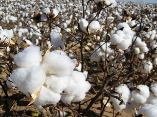 cotton, unprocessed, raw, low micronaire, oil spills, cleanup