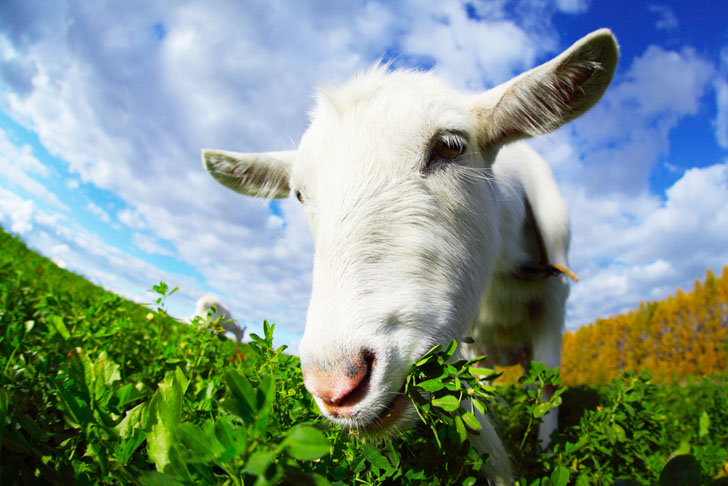 Chicago's O'Hare Airport Hires Goat Herd to Graze Along Runways