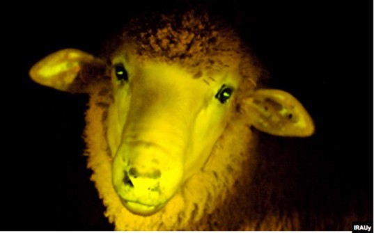 irauy, glowing sheep, bioengineer, genetically modified, uruguay