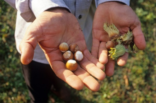 Mountain Hazelnuts Group, fortune brainstorm green