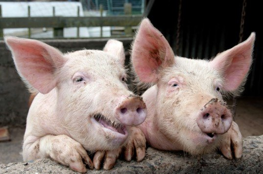 Pigs, pig sty, smiling pigs, funny pigs,